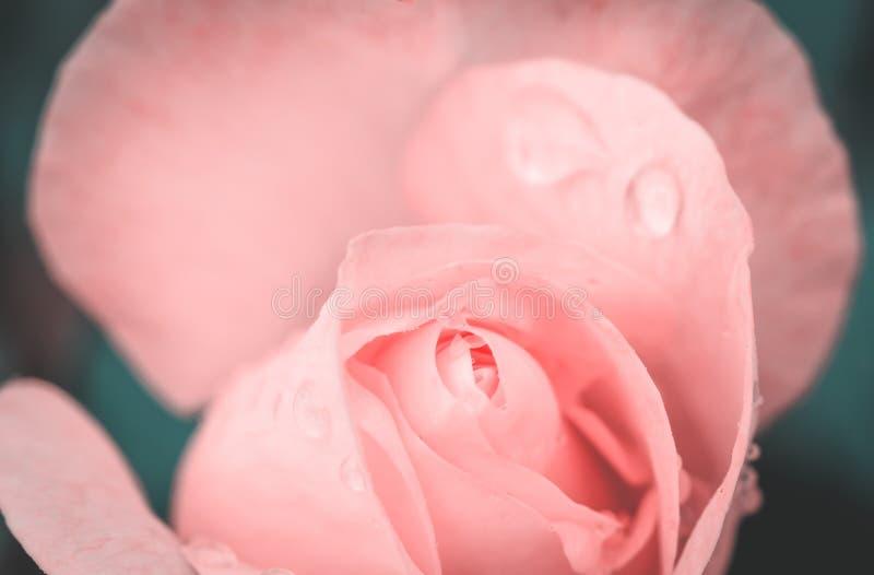 падение воды на конце розы вверх стоковое изображение rf
