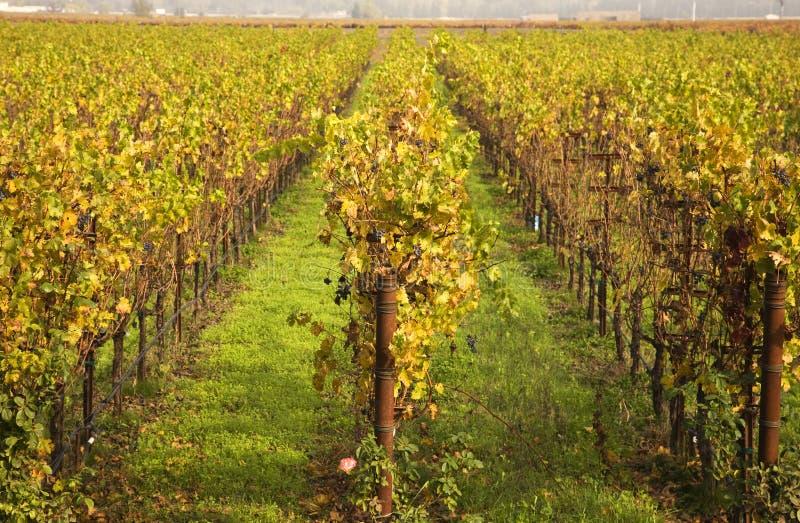 падение выходит лозам рядков napa желтый цвет виноградников стоковые фотографии rf