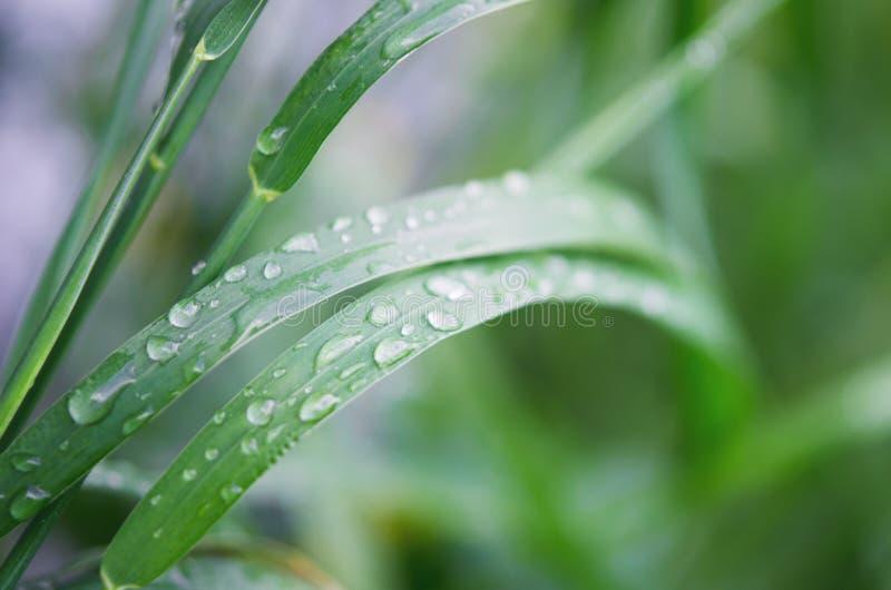 Падения воды на зеленой траве r стоковые фотографии rf