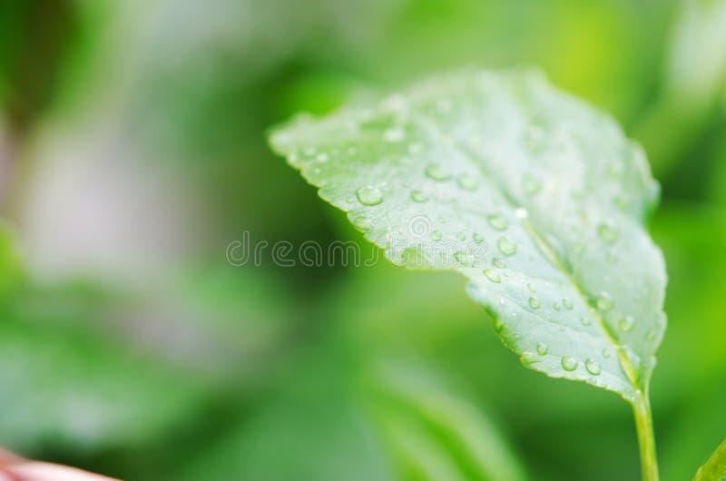 Падения воды на зеленых листьях r стоковое фото rf