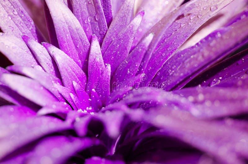 Падения воды на лилии листьев Пурпурное тонизированное фото стоковые изображения