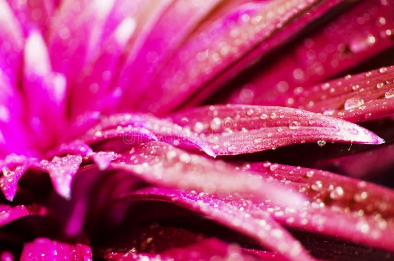 Падения воды на лилии листьев Розовое тонизированное фото стоковое фото rf