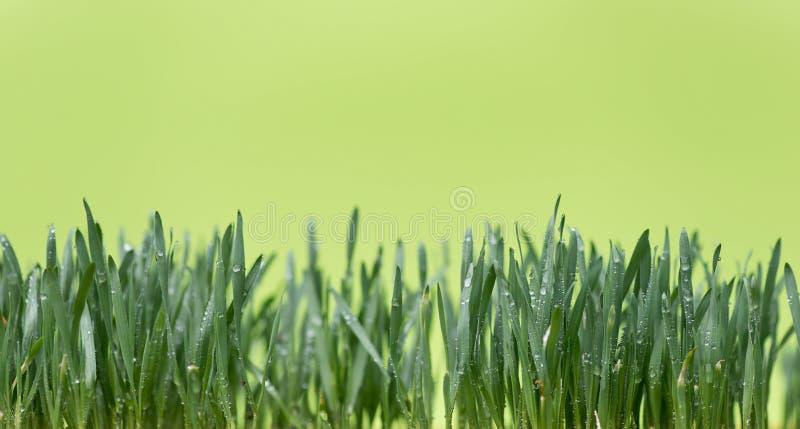 Падения воды на молодой пшенице стоковая фотография rf