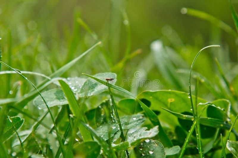 Падения воды после лож дождя на зеленых листьях крупного плана травы дождь лета на солнечный день влажная погода в природе E стоковые изображения