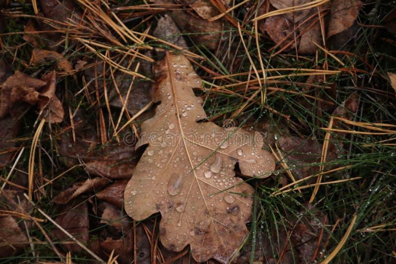 Падения дождя на коричневом разрешении на том основании в лесе в Capelle Aan Den Ijssel в Нидерланд стоковое изображение