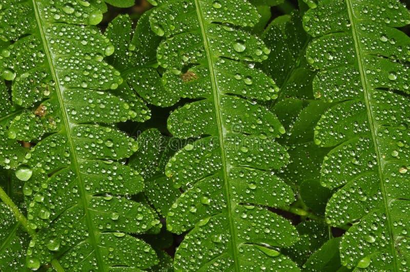 Падения дождя на папоротнике папоротник-орляка стоковые фотографии rf