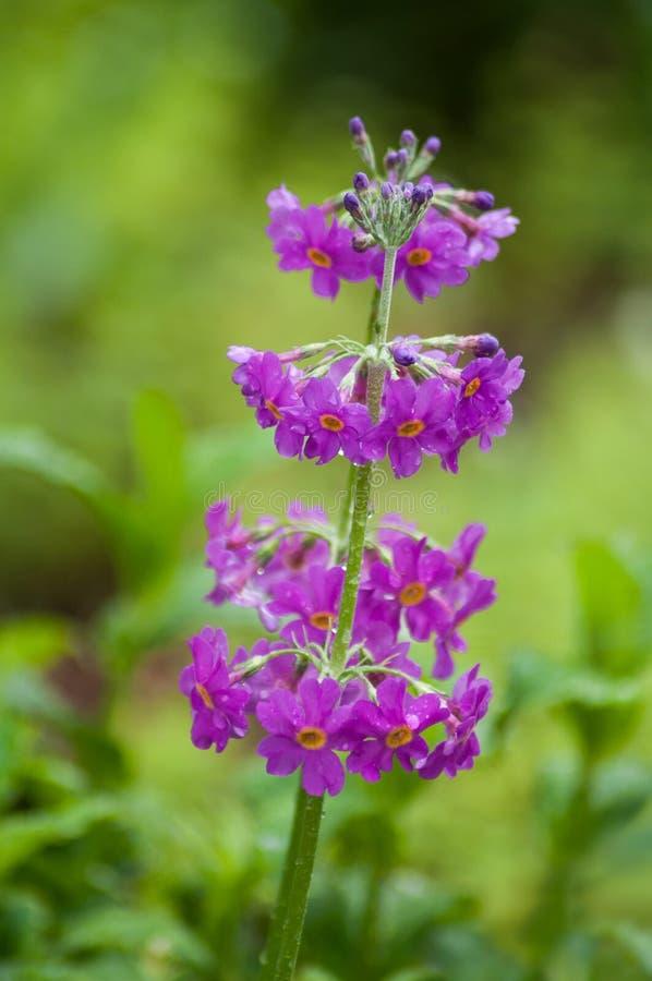 падения дождя на пурпурных первоцветах в сквере стоковое изображение rf