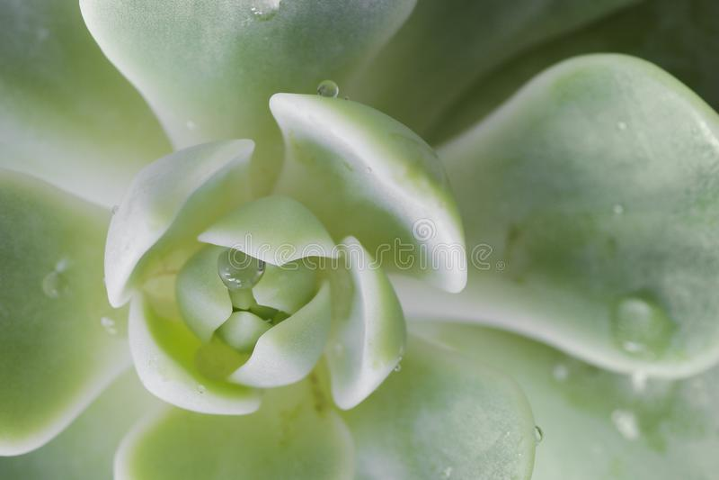 Падения росы на кактусе Конец вверх по взгляду макроса стоковая фотография rf