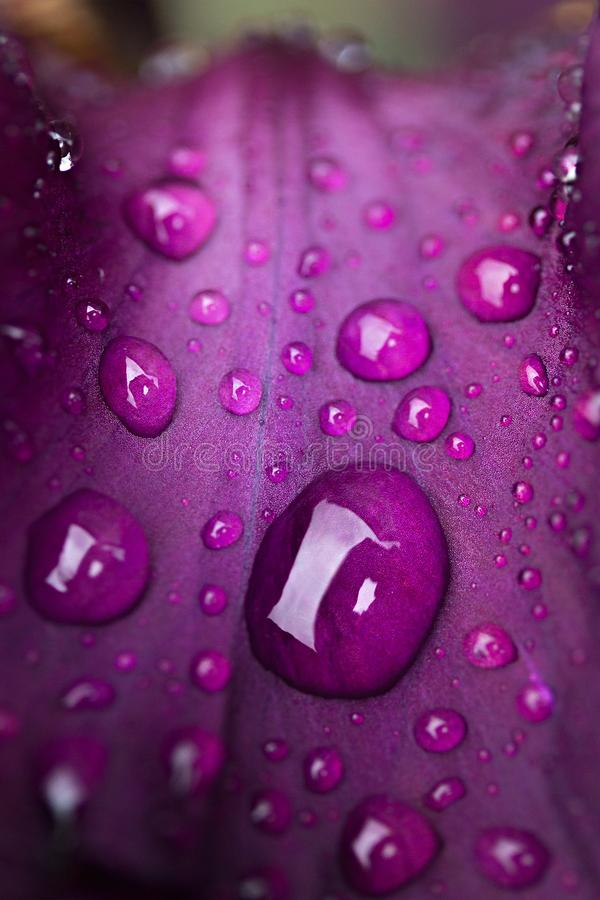 падения росы на пурпурном конце-вверх лист цветка стоковые изображения rf