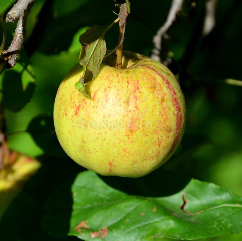 Падения сумасшествия и воды плодоовощ Малые яблоки в яблоне в саде, в раннем лете стоковые фото