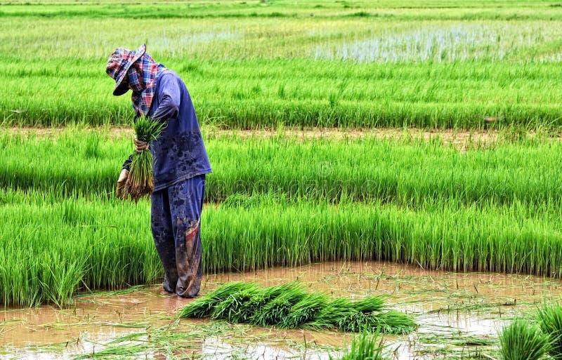 пади сельскохозяйствення угодье хуторянина засаживая рис тайский стоковая фотография