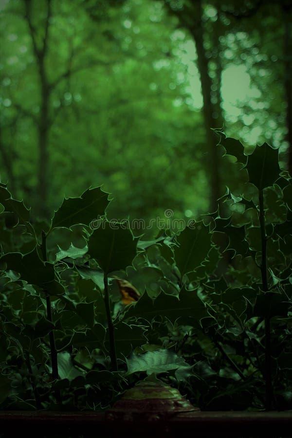 Падуб в сентябре стоковое фото
