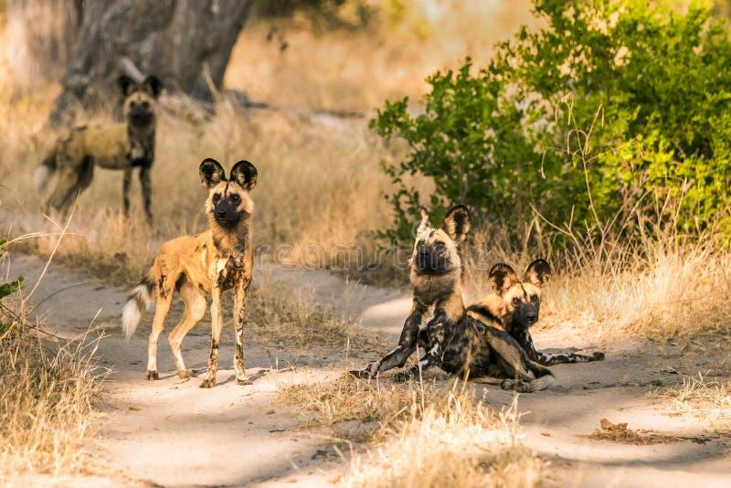 Пакет африканских диких собак стоя на дороге стоковые фотографии rf