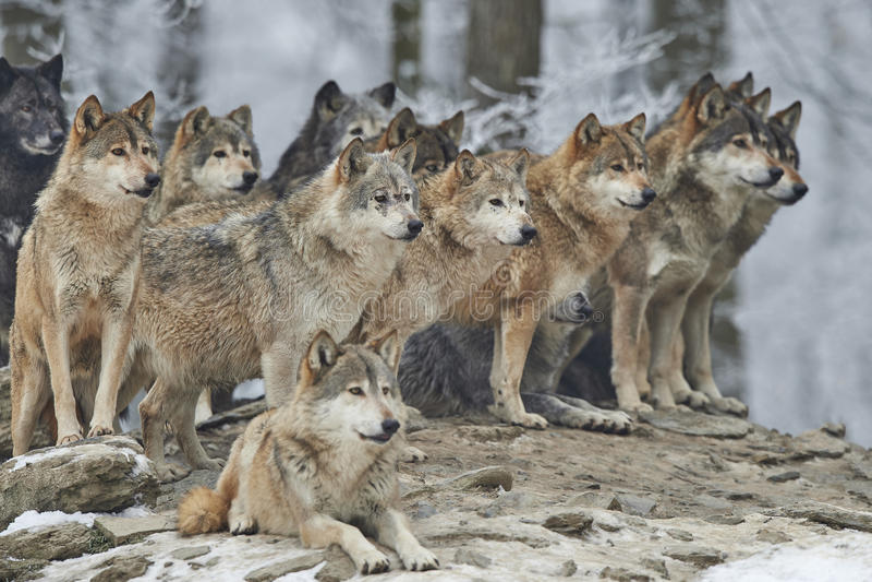 Download Пакет волков стоковое фото. изображение насчитывающей собака - 65972570