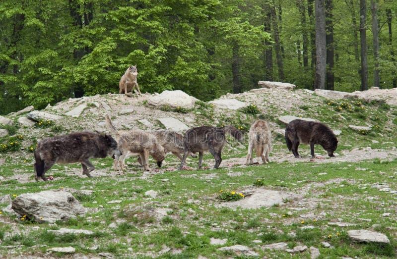 Пакет серых волков стоковое изображение
