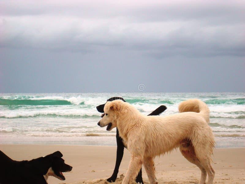 Пакет собак играя на пляже стоковые фотографии rf