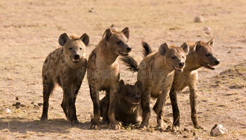пакет hyenas стоковая фотография rf