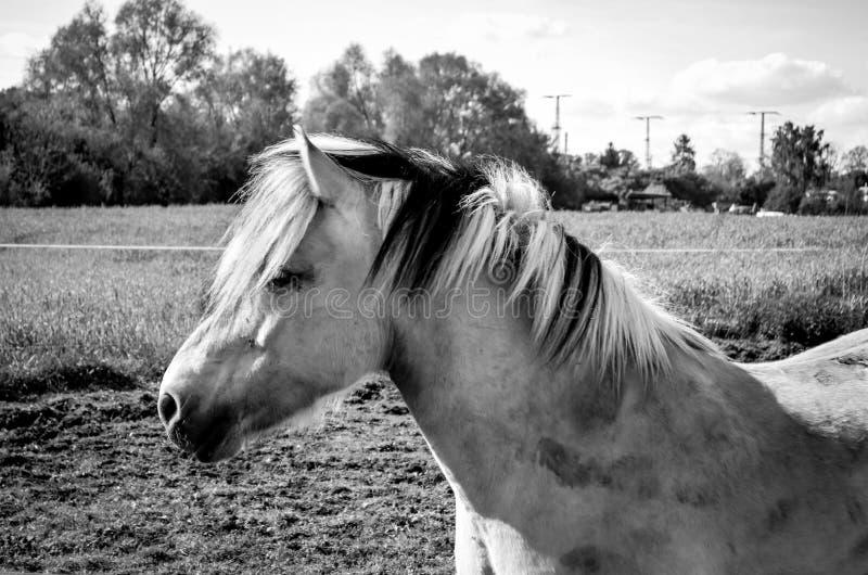 Пакостный портрет лошади фьорда в природе в черно-белом стоковые фото
