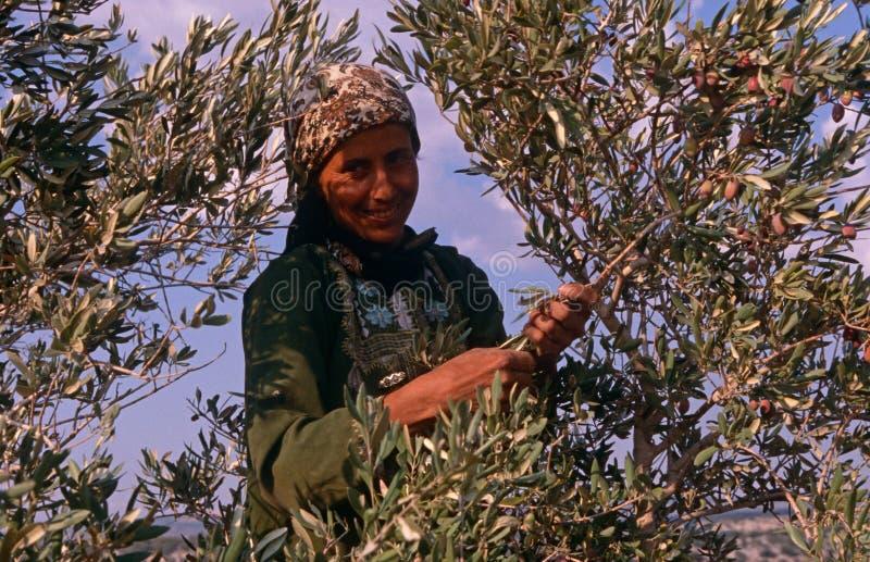 Палестинские женщины работая в прованской роще. стоковое фото rf