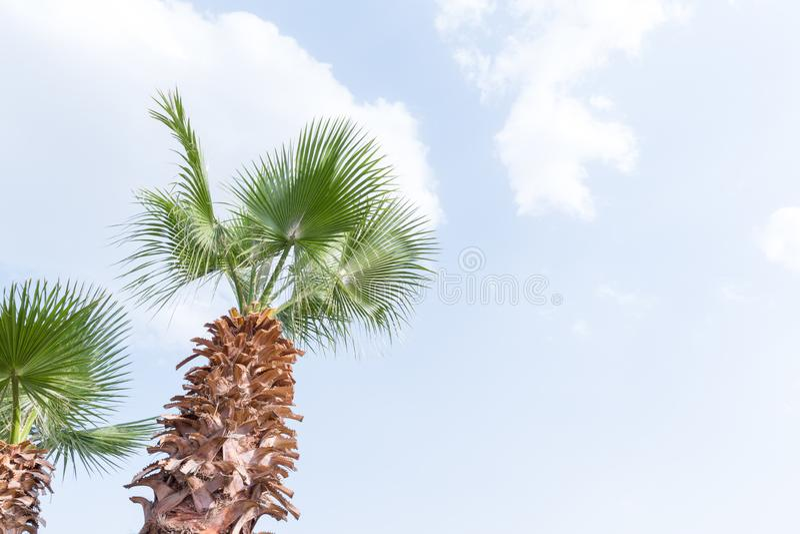 Пальма Египта против голубого неба стоковые фотографии rf