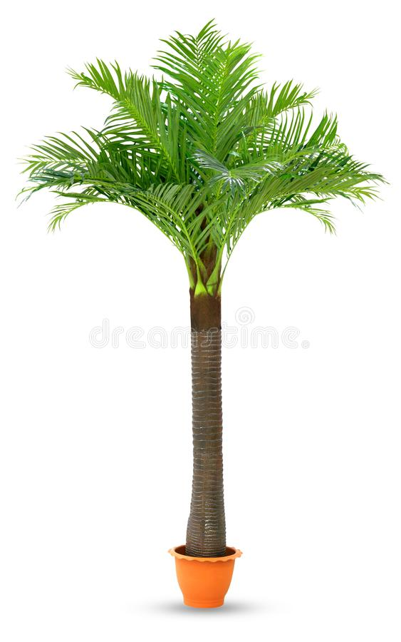Пальма кокоса в предпосылке бака изолированной пластмассой белой, кокосовой пальме для сада дисплея упорки выставок будочки украш стоковые фото