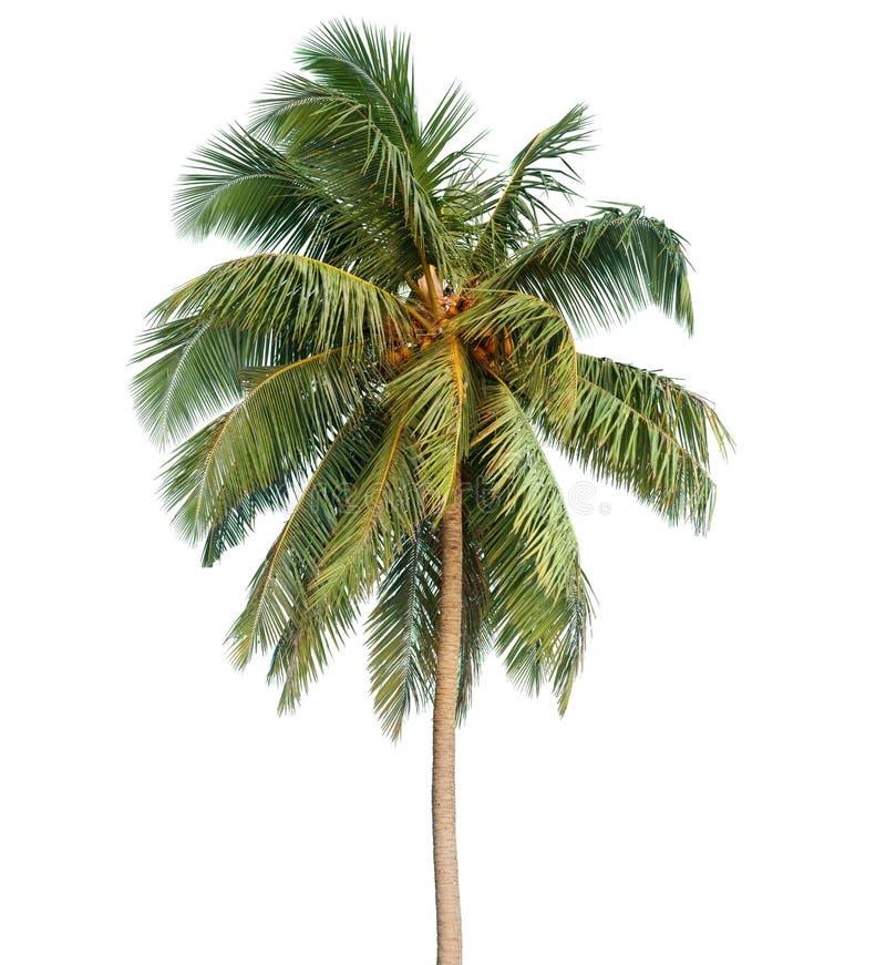 Пальма кокоса изолированная на белой предпосылке стоковое изображение