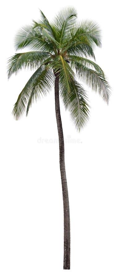 пальма кокоса стоковые фото