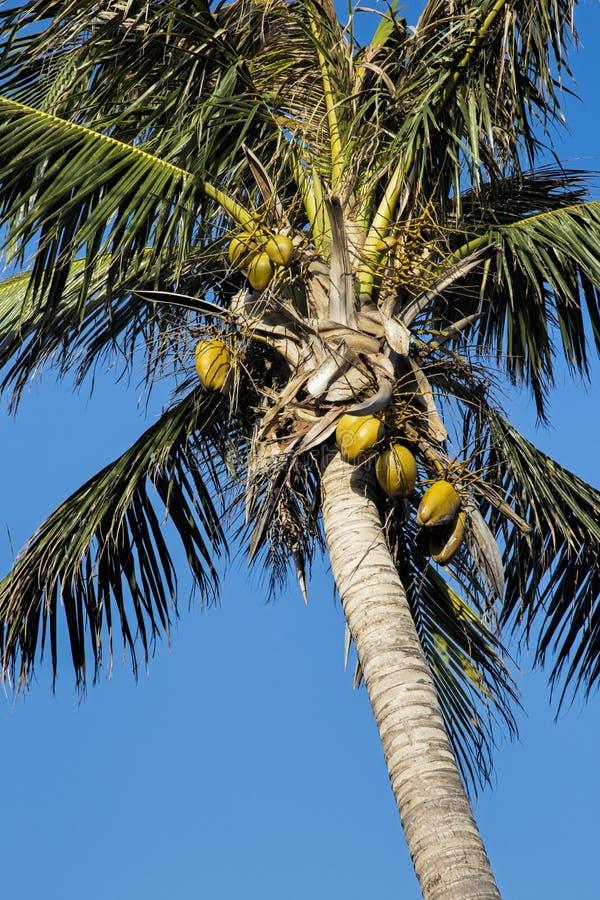 Пальма кокоса, nucifera Cocos, с голубым небом стоковая фотография