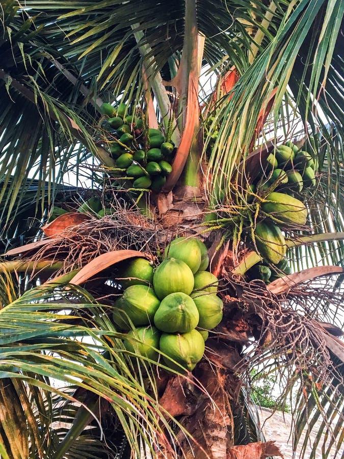 пальма кокосов тропическая стоковые изображения