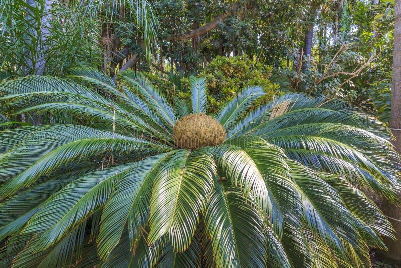 Пальма саго стоковое изображение