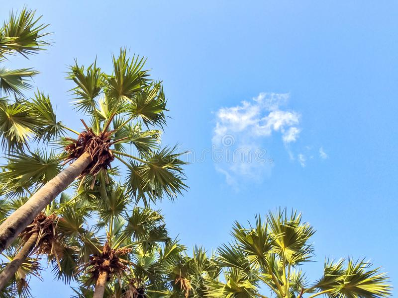 Пальма сахара с голубым небом и облаками, взглядом снизу или вниз, предпосылка природы стоковое изображение