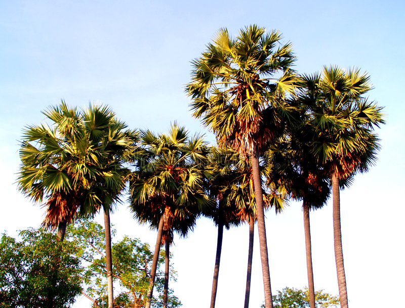 пальма 41 стоковое изображение rf