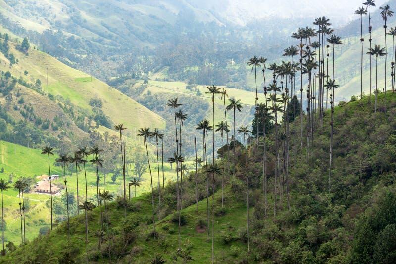 Пальмы воска стоковая фотография