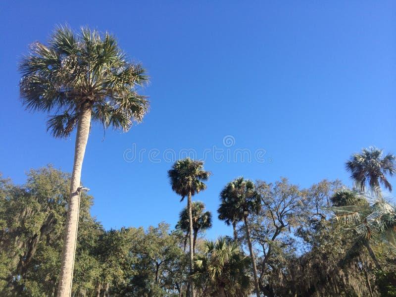 Пальмы в центральной Флориде стоковое изображение