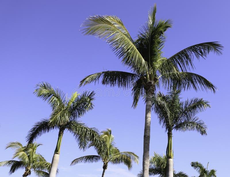 Пальмы в Ft Myers, Флориде стоковая фотография
