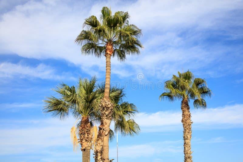 Пальмы кокоса на Кипре с предпосылкой сини и облачного неба стоковая фотография