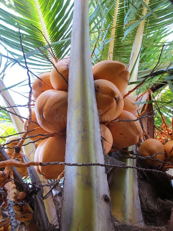Пальмы кокоса с много желтых плодов стоковые фотографии rf