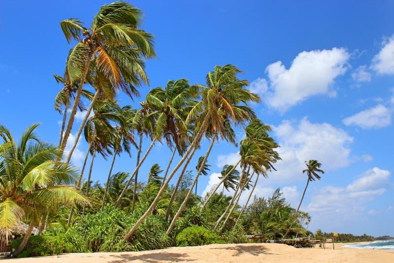 Пальмы на пляже, окруженном зелеными кустами, некоторые кокосы стоковая фотография rf