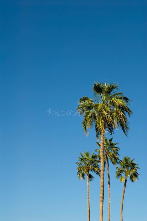 Пальмы против гениального голубого неба стоковое изображение