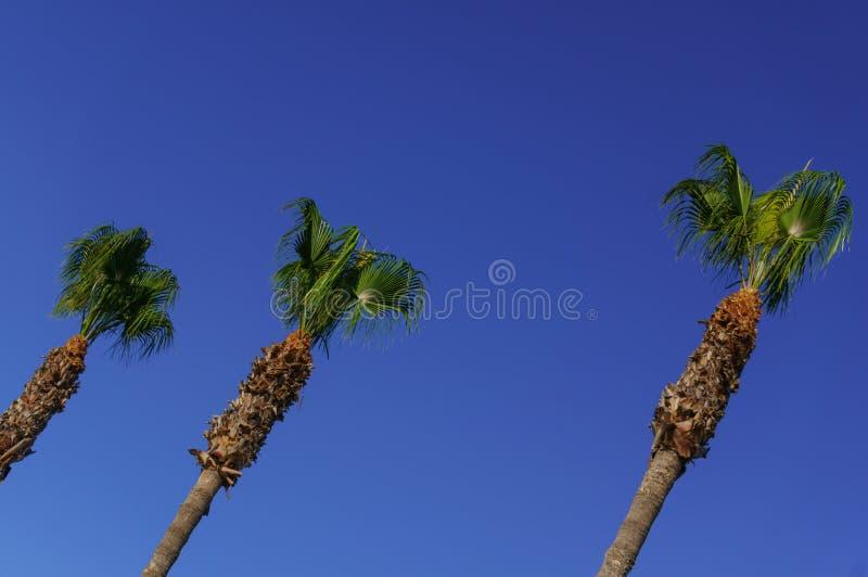 3 пальмы против голубого неба Фото принятое от дна и под углом стоковое фото