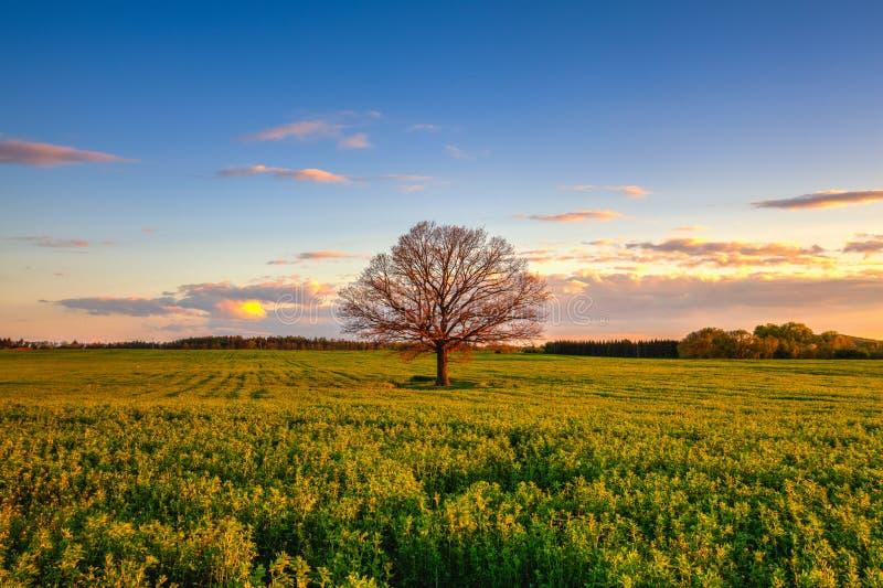 Памятное сиротливое дерево на заходе солнца, чехии стоковые изображения rf
