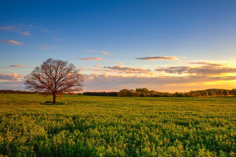 Памятное сиротливое дерево на заходе солнца, чехии стоковое фото rf