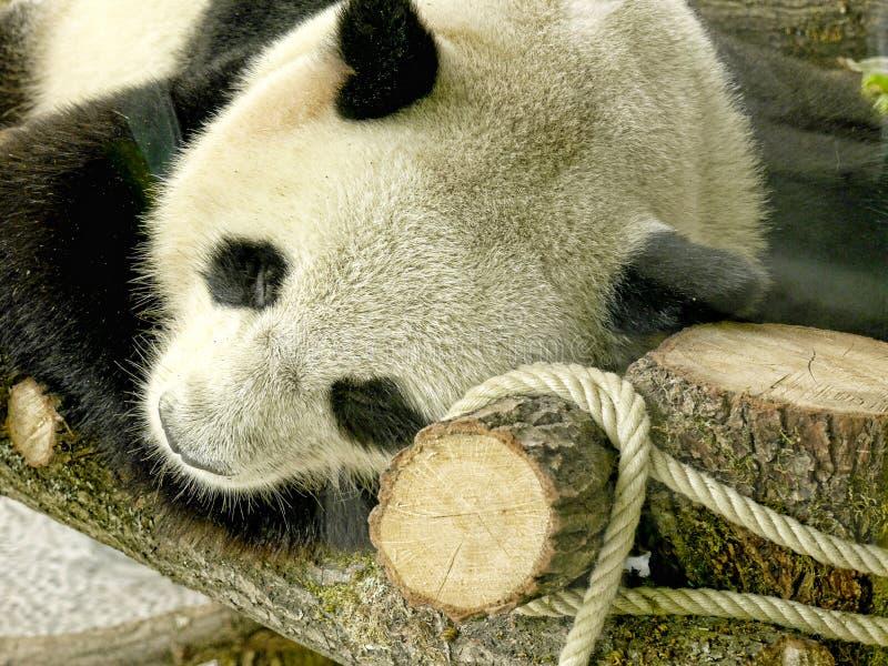 Панда в зоологических садах и аквариум в Берлине Германии Зоопарк Берлина посещать зоопарк в Европе, стоковые изображения rf