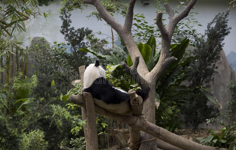 Панда в зоопарке Сингапура стоковая фотография rf