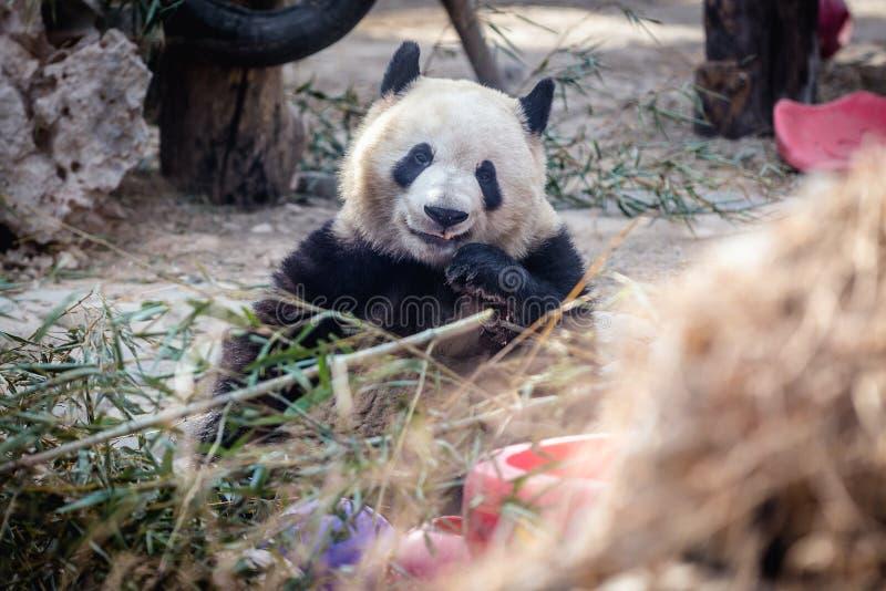 Панда в Пекин стоковая фотография rf