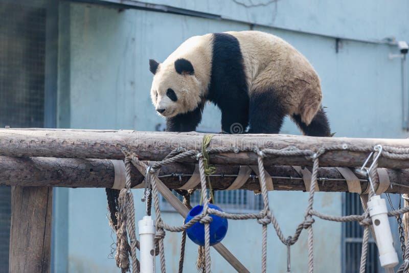 Панда в Пекин стоковые изображения