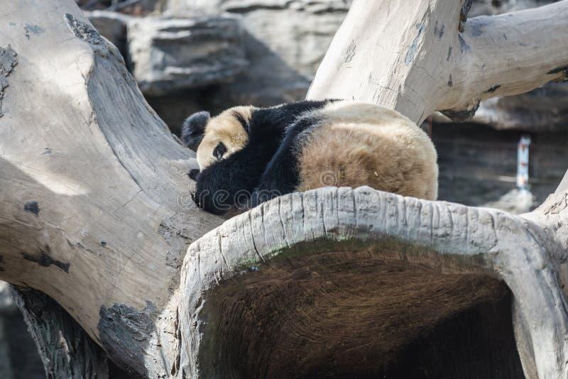 Панда в Пекин стоковые изображения rf
