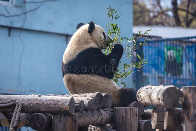 Панда в Пекин стоковые фото