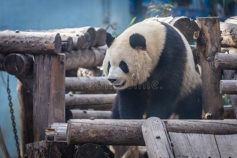Панда в Пекин стоковые фотографии rf