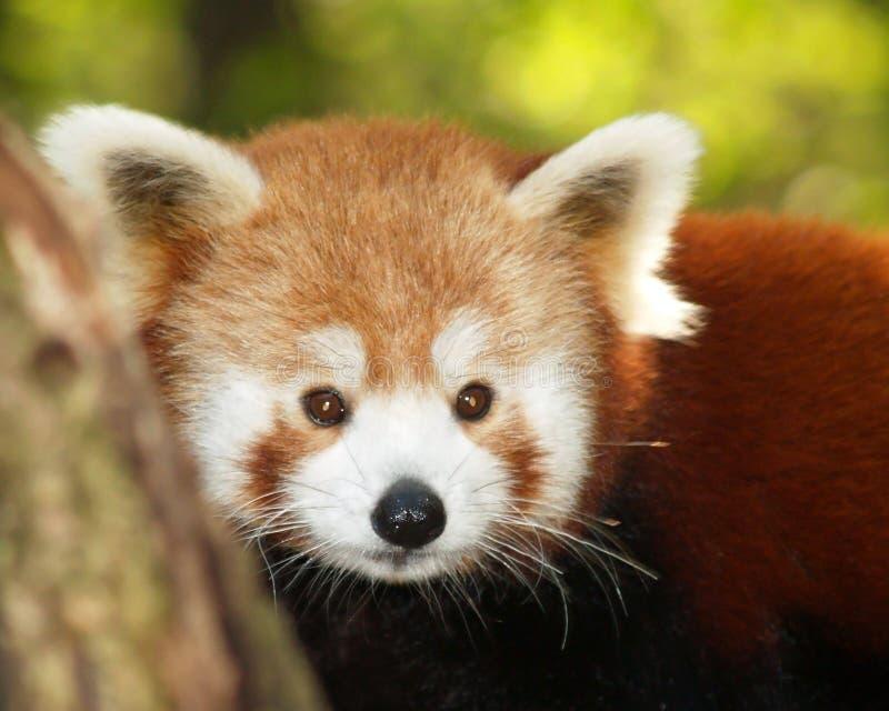 панда малая стоковое фото rf